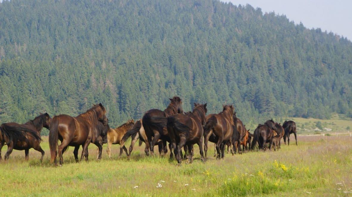 Ugašena jedina ergela konja bosansko-brdske pasmine na svijetu